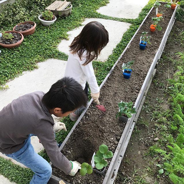 家でイチゴを栽培