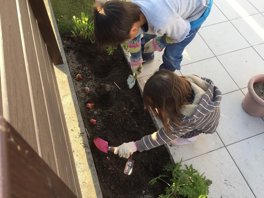 チューリップを植える