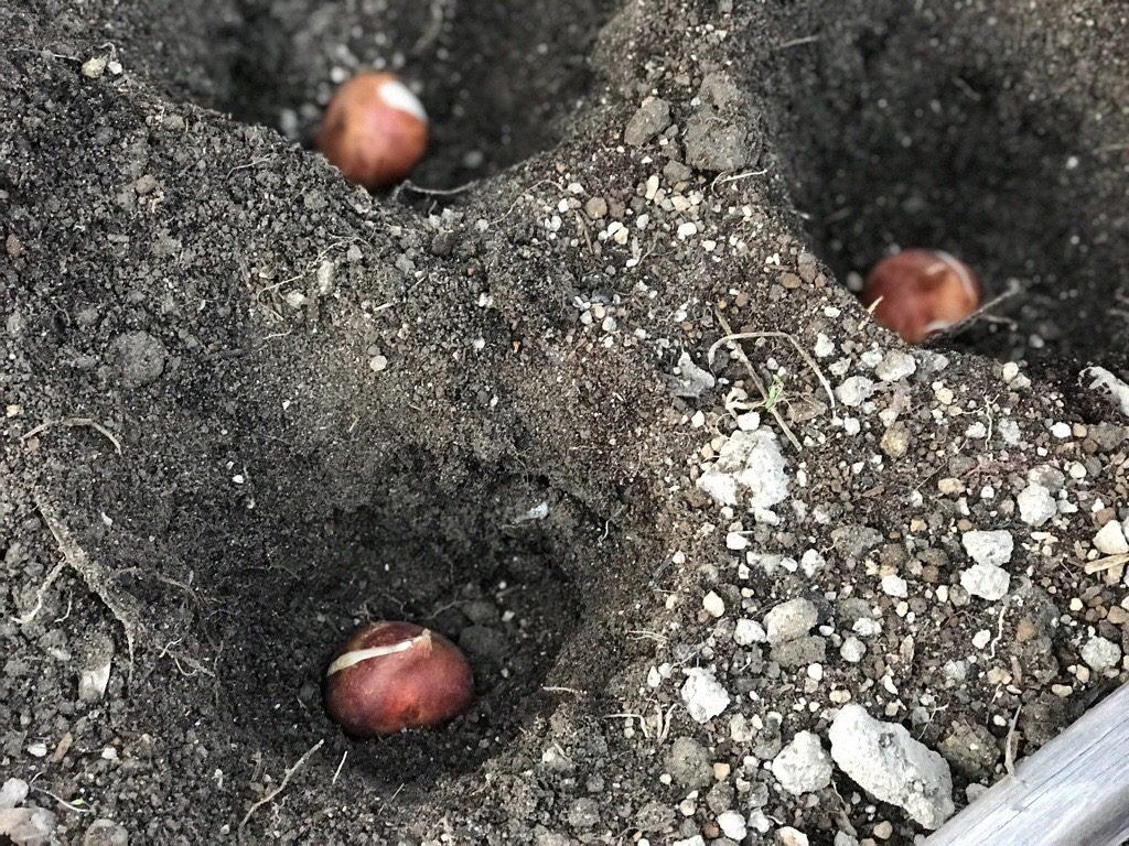 チューリップの球根を植える